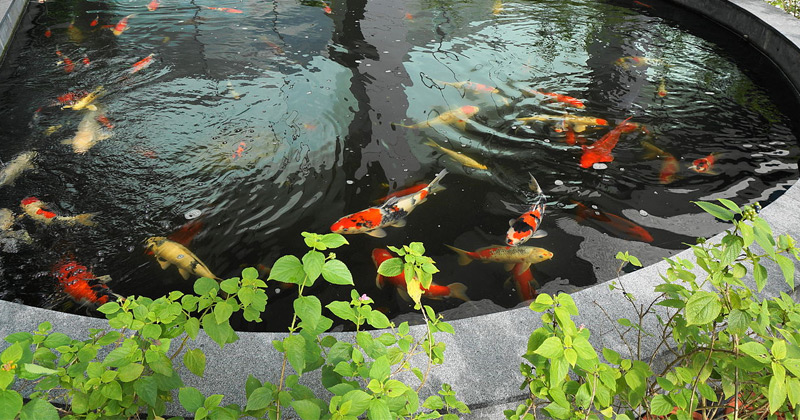 koi pond photo
