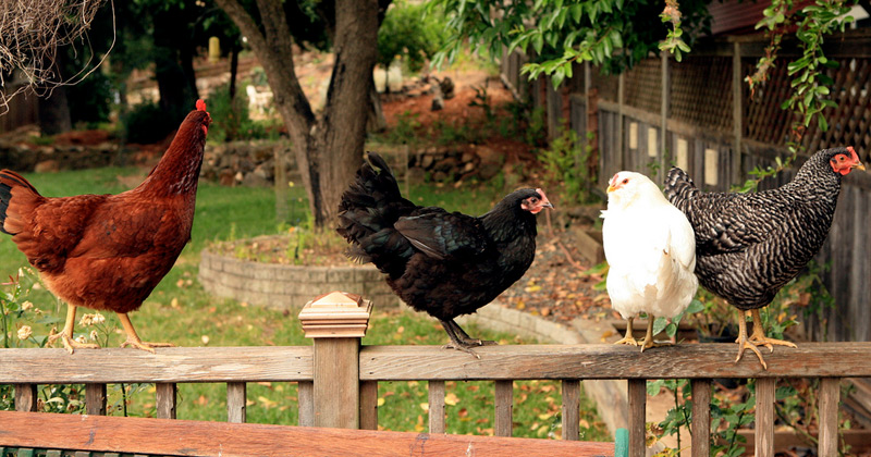 raising backyard chickens books