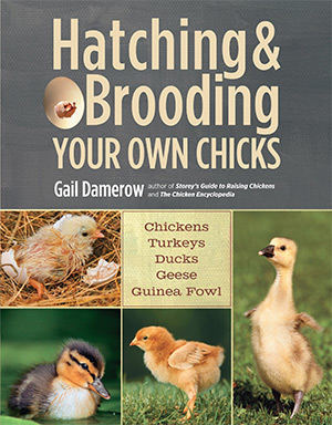 hatching and brooding chicks